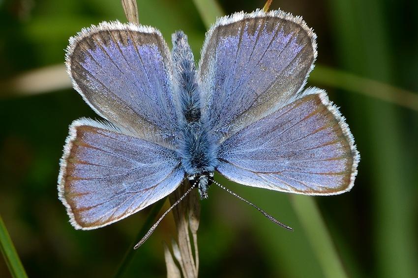 Heideblauwtje (m)
