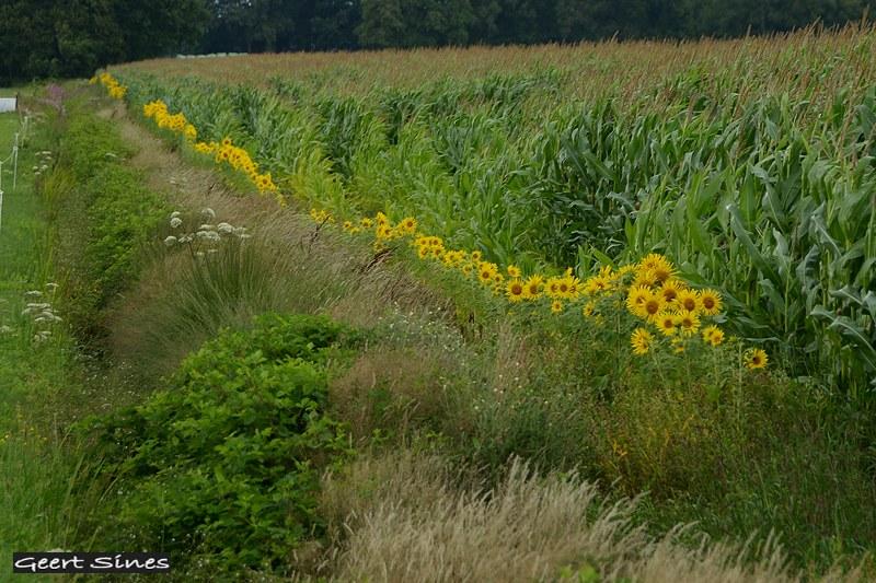 akkerrand zonnebloemen