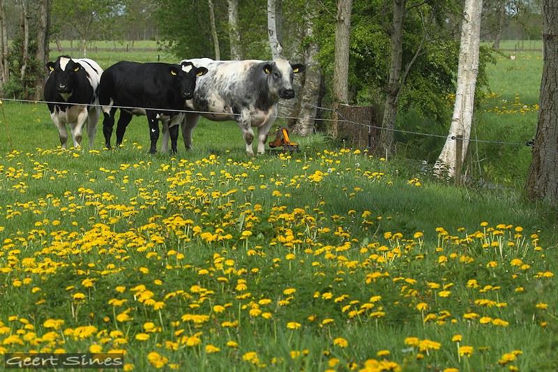 Koeien en paardenbloemen